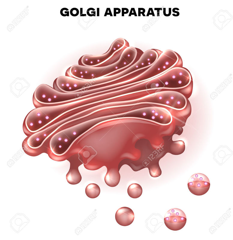 animal cell golgi bodies - photo #11